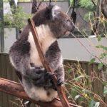 Przytulenie koali w Australii
