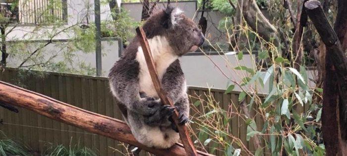 Przytulenie koali