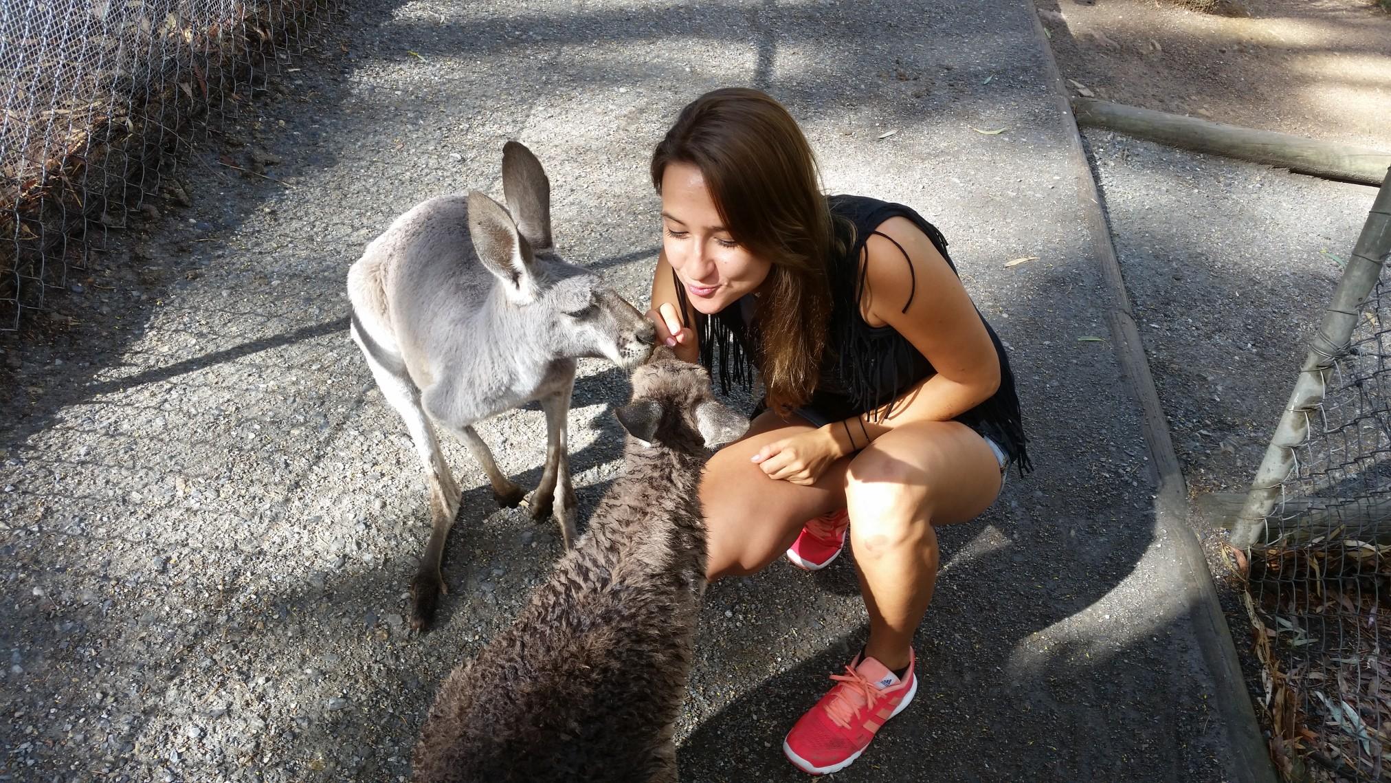 kangury, przytulenie koali