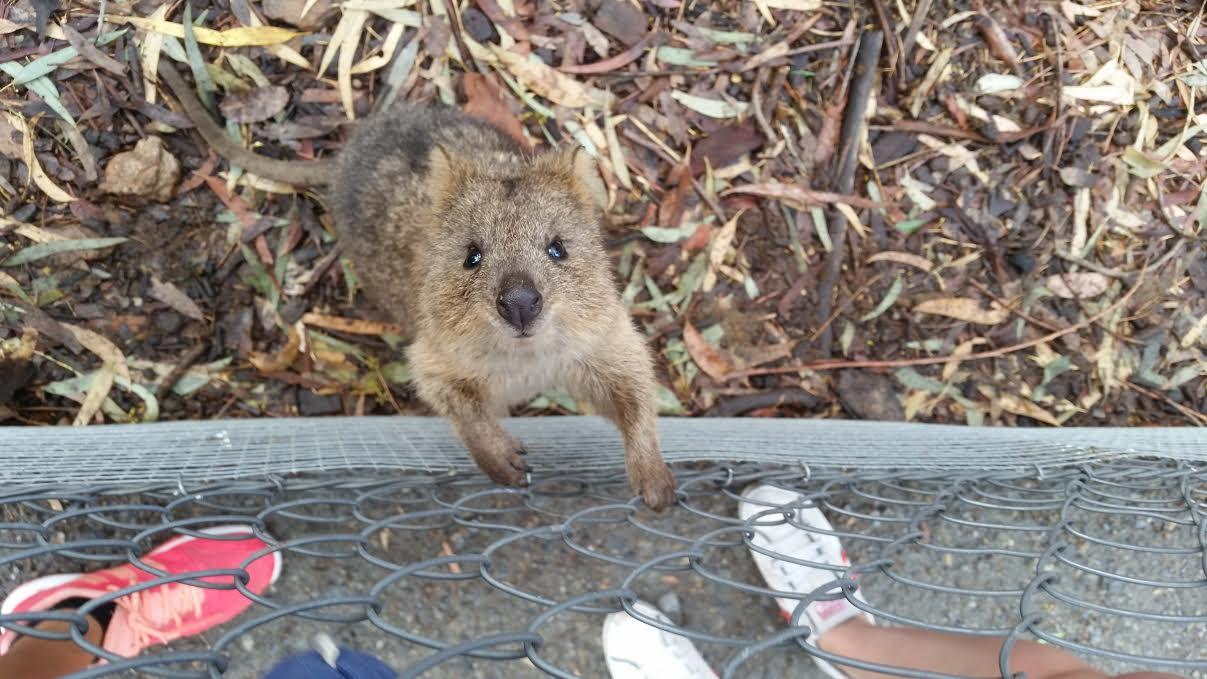quoka, przytulenie koali Przytulenie koali w Australii