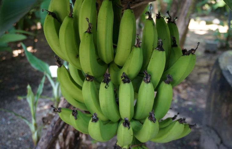 największe atrakcje Teneryfy banany photo by Adrien Brunet