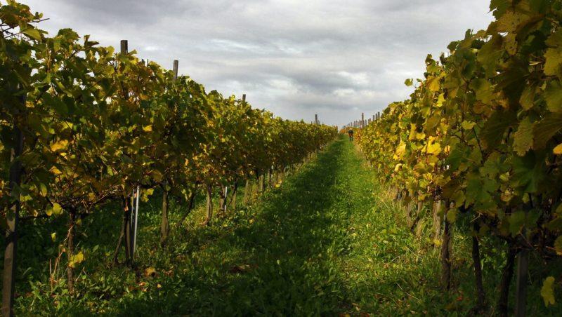 winnica Wiarus, Jedlicze, karpacki szlak wina
