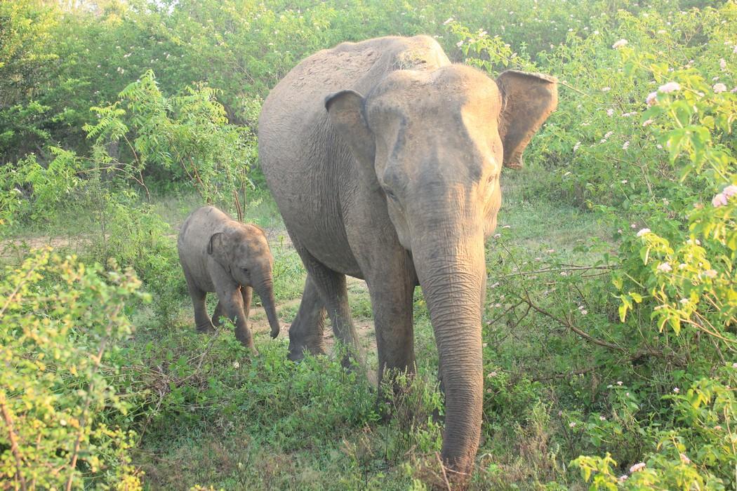 Udawalawe National Park_4